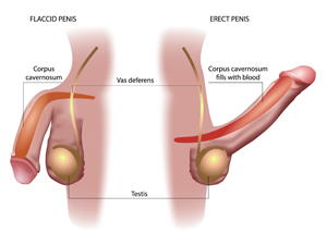 Flaccid vs erect penis