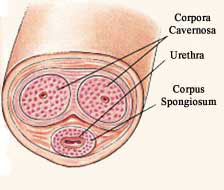Corpus cavernosa